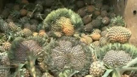 ananas eventail